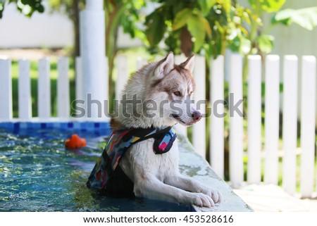 Siberian husky dog wear life jacket enjoy in swimming pool, dog swimming, dog activity, happy dog - stock photo