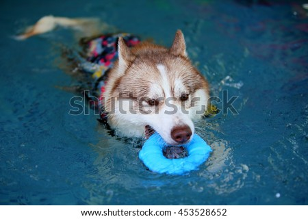Siberian husky dog wear life jacket hold toy in mouth play in swimming pool, dog swimming, dog activity, happy dog - stock photo