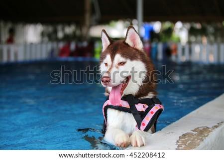 Siberian husky dog wear life jacket pink color polka dot pattern swim in swimming pool, dog swimming, happy dog, dog activity - stock photo