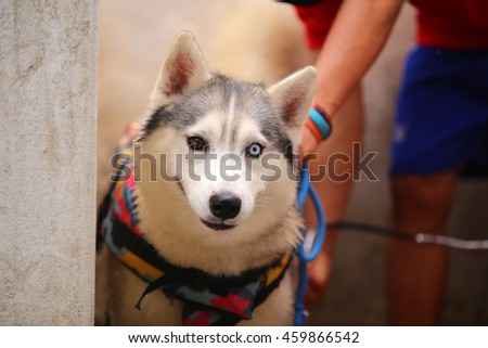 Siberian husky dog wear life jacket prepare for swimming, dog activity, dog portrait, happy dog, dog bathing - stock photo