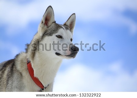 Siberian husky dog wearing red necklace portrait and cloudy sky background