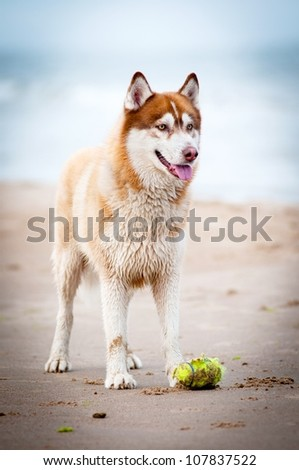 siberian husky dog with  a toy - stock photo