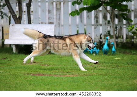 Siberian husky dog wolf gray and white colors running in grass field, happy dog, dog activity, dog in the park, dog jumping, dog running - stock photo