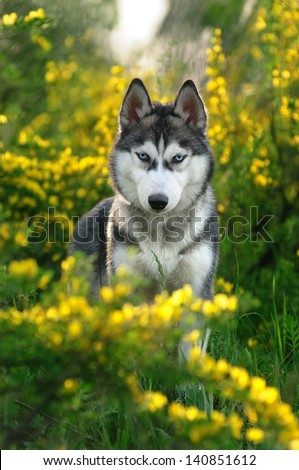 Siberian husky for a walk in the woods - stock photo