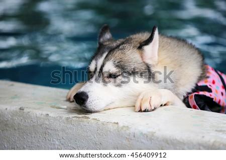 Siberian husky gray and white colors with blue eyes wear life jacket in swimming pool, dog swimming, dog activity, fluffy dog, lazy dog, sleepy dog, boring face - stock photo