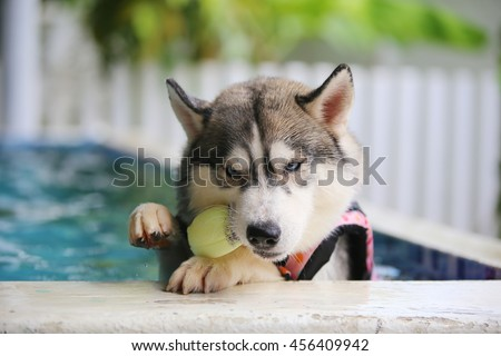 Siberian husky gray and white colors with blue eyes wear life jacket play ball toy in swimming pool, dog swimming, dog activity, fluffy dog, happy dog - stock photo