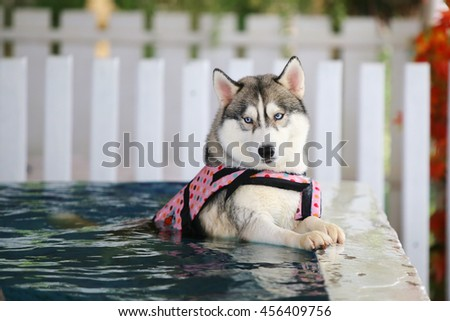 Siberian husky gray and white colors with blue eyes wear life jacket swim in swimming pool, dog swimming, dog activity, happy dog, fluffy dog - stock photo