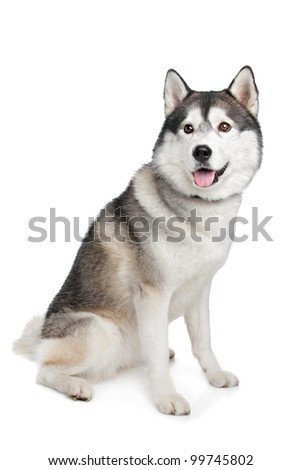 Siberian Husky in front of a white background - stock photo