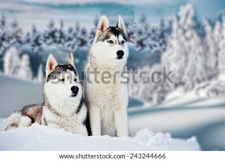 Siberian Husky in winter mountains - stock photo