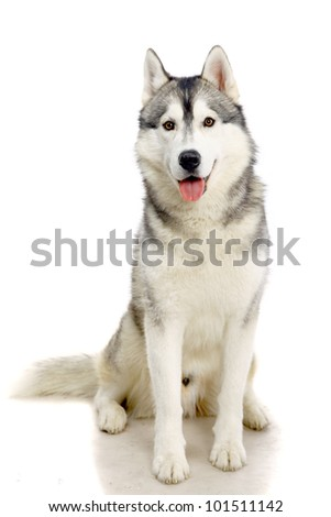 Siberian Husky isolated on the white background - stock photo