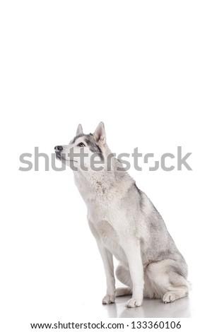 siberian husky isolated on white - stock photo