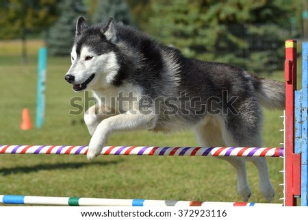 Siberian Husky Leaping Over a Jump at a Dog Agility Trial - stock photo
