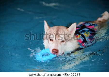 Siberian husky light red and white colors wear life jacket hold toy in mouth swim in swimming pool, dog swimming, dog activity, happy dog - stock photo