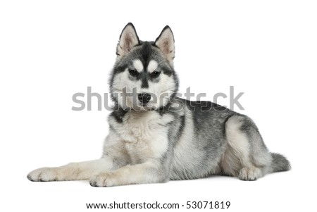 Siberian husky, 6 months old, lying in front of white background - stock photo
