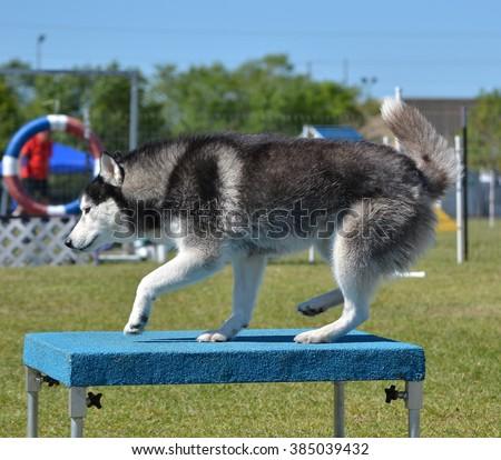 Siberian Husky on a Pause Table at Dog Agility Trial - stock photo