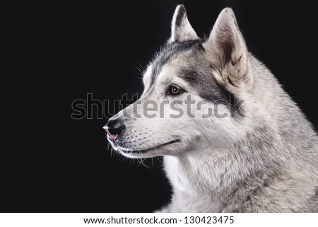 siberian husky on black background closeup