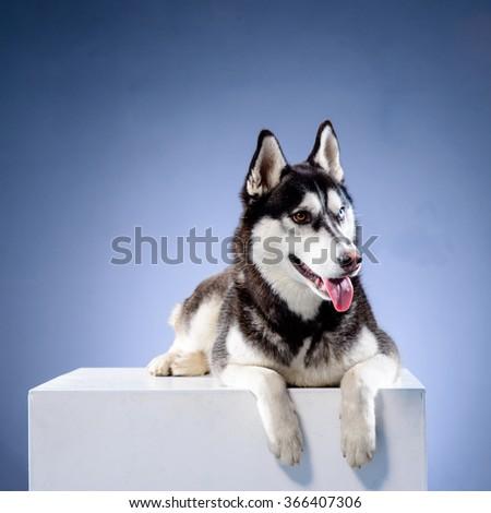 siberian husky on grey background, studio - stock photo