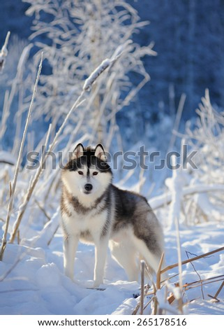 Siberian husky on the background of trees with snow - stock photo