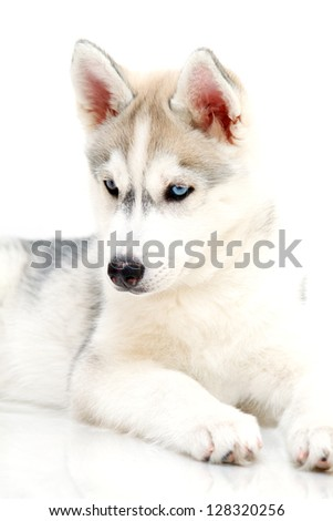 Siberian Husky puppy, age 2,5 months - stock photo