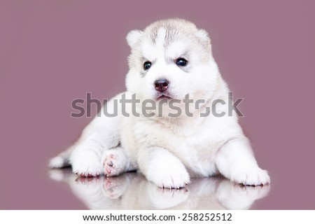 Siberian Husky puppy, age of 21 day