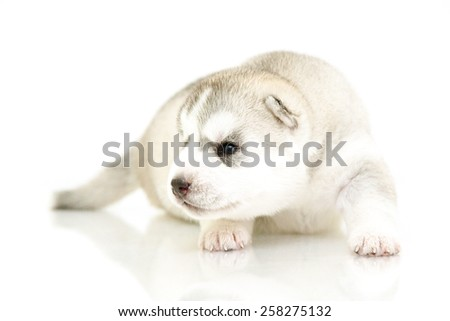 Siberian Husky puppy, age of 16 days