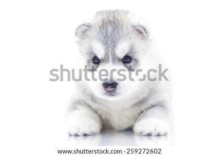 Siberian Husky puppy, age of 16 days - stock photo