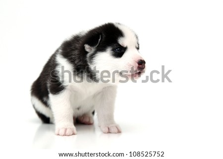 Siberian Husky puppy, age of 20 days, isolated on a white background