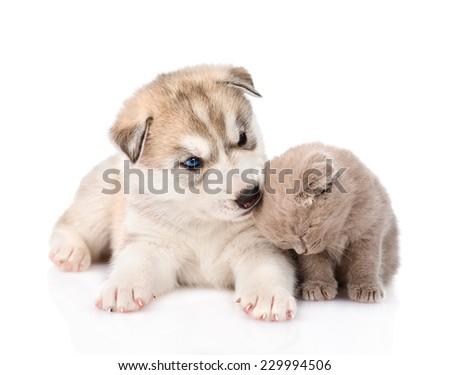 Siberian Husky puppy biting scottish kitten. isolated on white background - stock photo