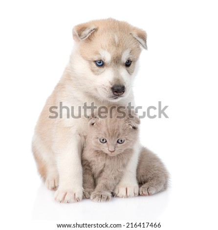 Siberian Husky puppy hugging scottish kitten . isolated on white background - stock photo