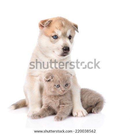 Siberian Husky puppy hugging scottish kitten. isolated on white background - stock photo