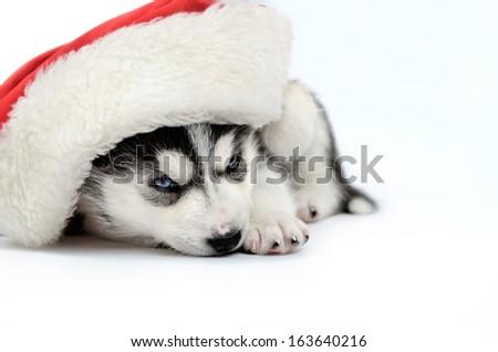 Siberian Husky puppy in red Santa hat - stock photo