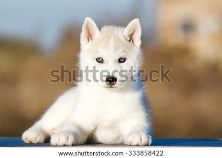 Siberian Husky puppy outdoors - stock photo