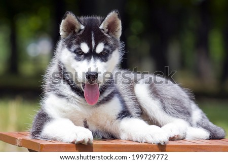 Siberian Husky puppy outdoors, 9 weeks old