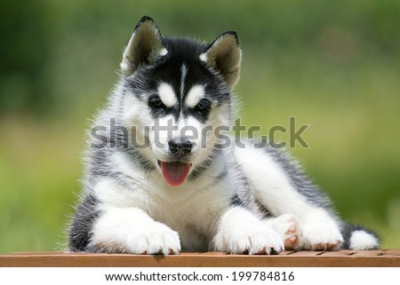 Siberian Husky puppy outdoors, 7 weeks old