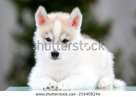 Siberian Husky puppy outdoors, 6 weeks old
