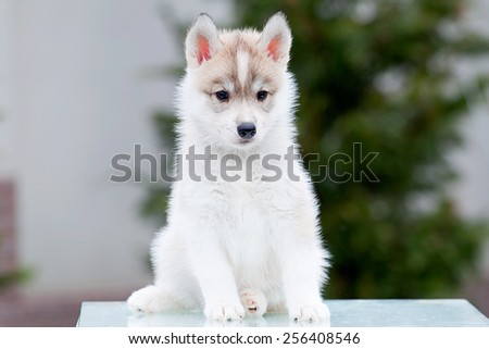 Siberian Husky puppy outdoors, 6 weeks old - stock photo