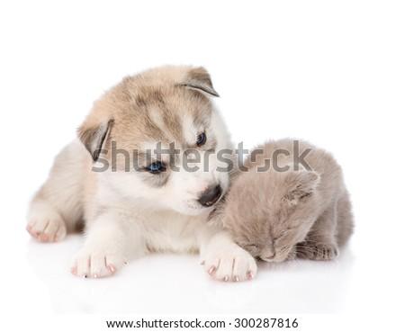 Siberian Husky puppy sniffing scottish kitten. isolated on white background - stock photo