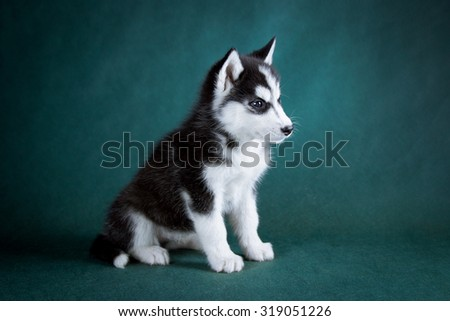 siberian husky puppy studio shoot on green background. - stock photo