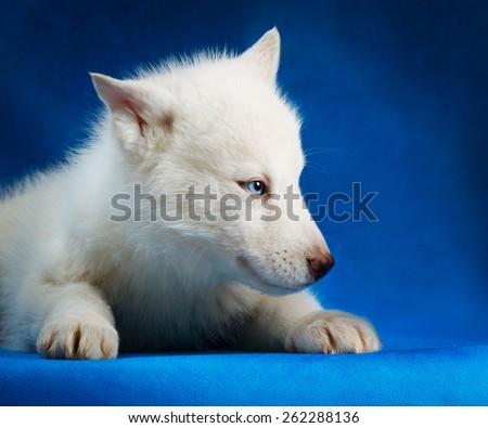 siberian husky puppy  with blue eyes lying blue background - stock photo