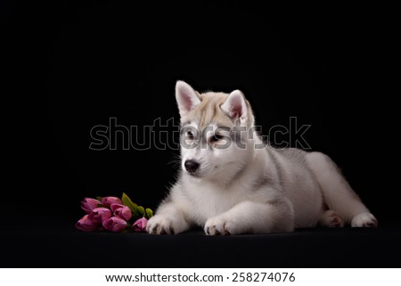 Siberian Husky puppy with flower