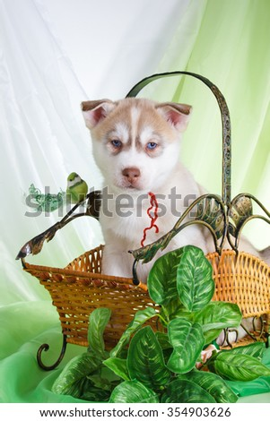 Siberian husky red puppy with blue eyes on green and white organza fabric