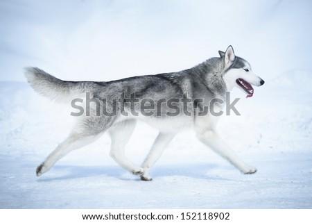 Siberian husky run on snow  - stock photo
