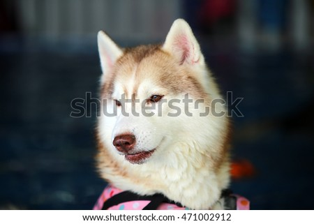Siberian husky, siberian husky swimming, dog swimming, dog portrait