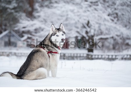 Siberian husky sits on the snow.  - stock photo