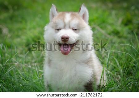 Siberian husky sitting and smiling - stock photo
