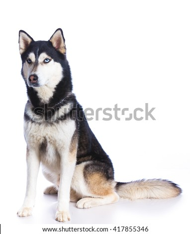 Siberian husky sitting on a white background - stock photo