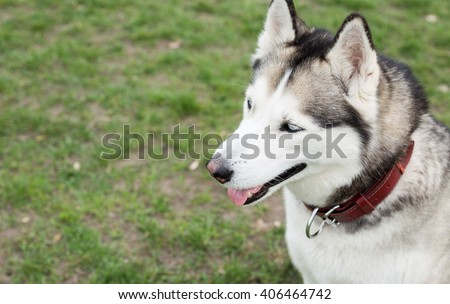 Siberian Husky sitting on green grass in the field. Top view. - stock photo
