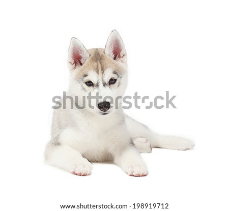 siberian husky small 2 months isolated on white background