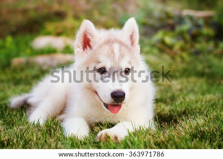 Siberian husky. small puppy lying on the lawn.