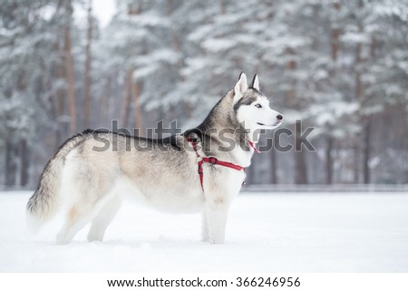 Siberian husky stands on the snow in field. Dog saunters near forest.  - stock photo